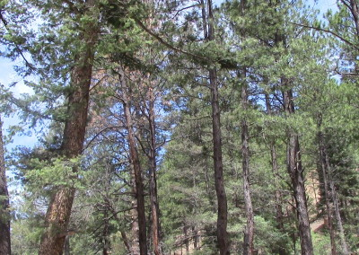 Tall trees in the National Forest in Santa Fe, NM. Photograph by Johnna M. Gale