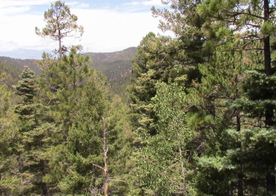 View of the trees in the Santa Fe National Forest, NM. Photograph by Johnna M. Gale
