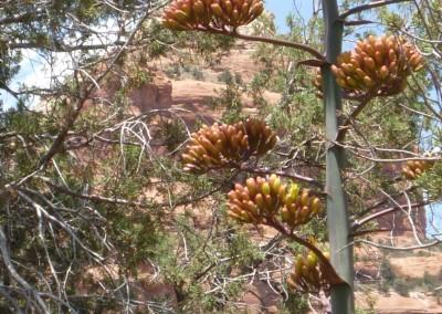 Century Plant, Sedona, AZ Photo by Johnna M. Gale
