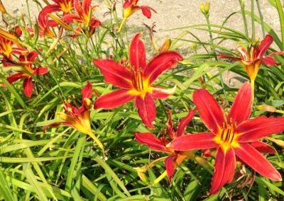 day lillies in Kansas, photo by Johnna M. Gale