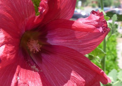 Hibiscus flower, Sedona, AZ photo by Johnna M. Gale
