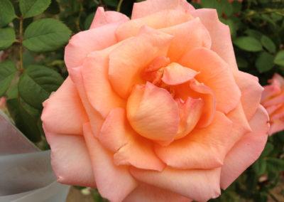 Orange Rose photo by JM Gale