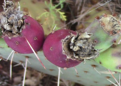 Prickly pear fruit, Sedona, AZ photo by Johnna M. Gale