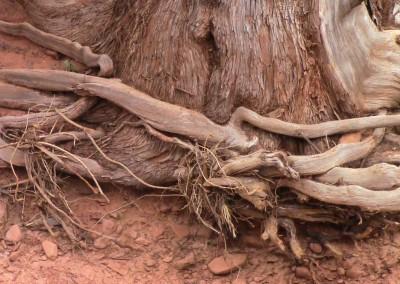 Tree roots in Sedona, AZ photo by Johnna M. Gale