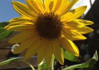sunflower in the backyard, Phoenix, AZ photo by Johnna M. Gale