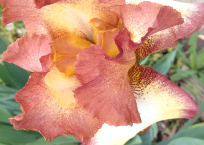iris bloom