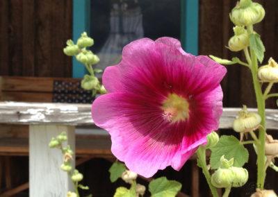 Hibiscus flower, Pie Town, NM